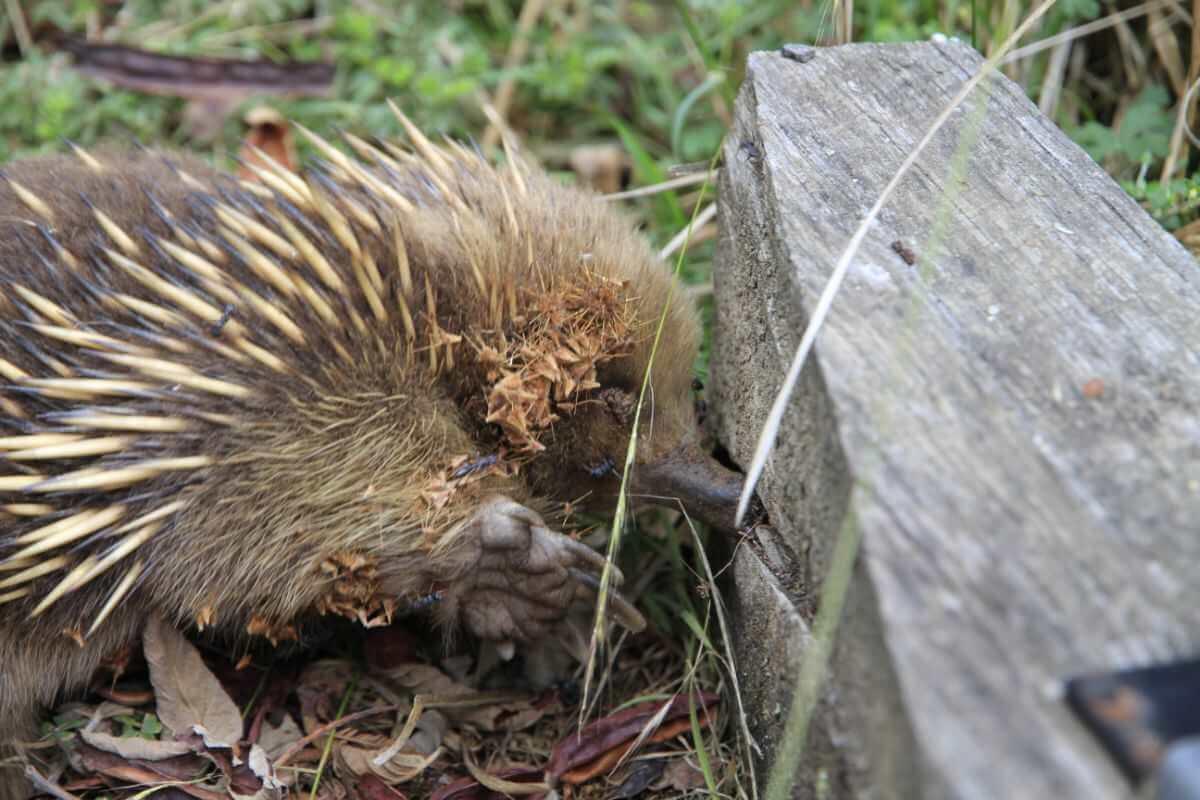 Tasmania's east coast echidna habitat