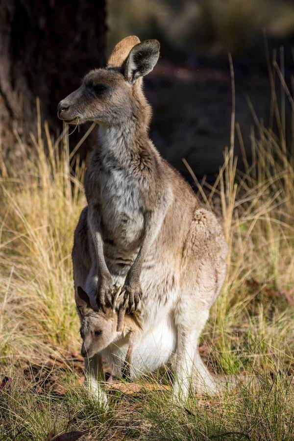 Coolah Tops National Park, Wallaby with Joey in pouch Australia, NSW