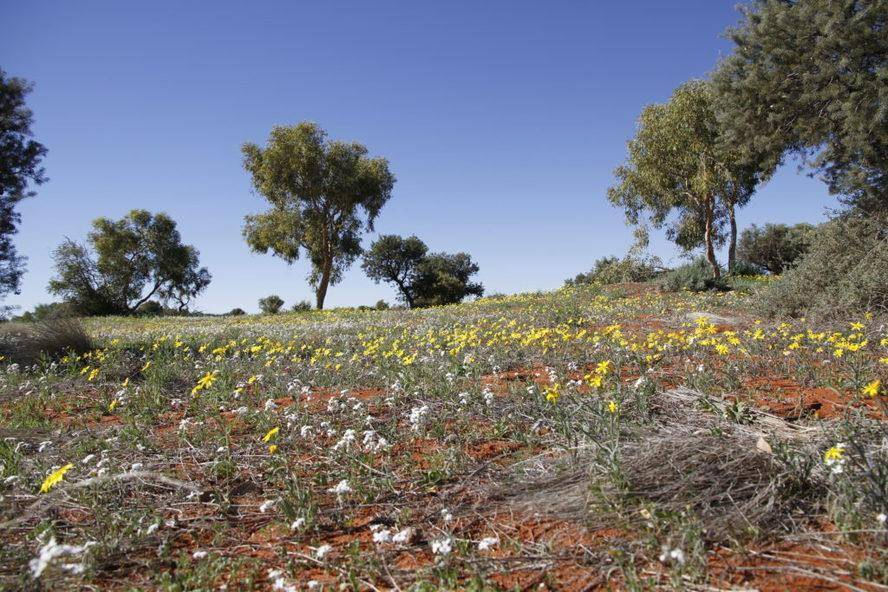 Batton Hills - Hay Rive Track - Fields of Wildflowers -Trayon Campers. Simpson Desert.