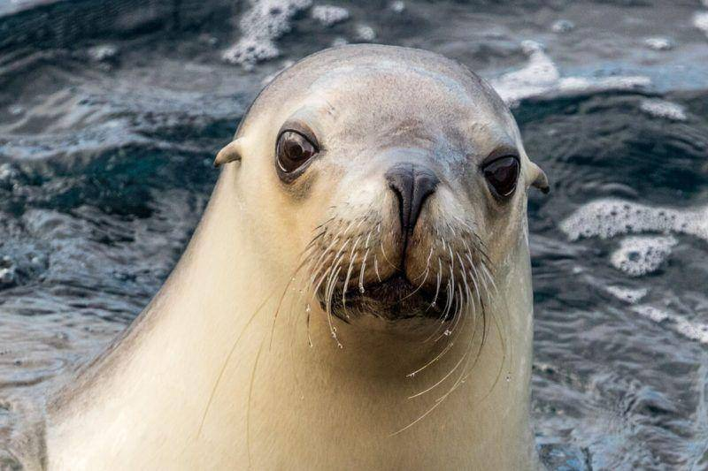 Memory Cove Wilderness Area - Lincoln National Park Seal - Eyre Peninsula