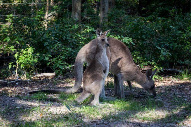 Burrum Coast National Park Kangaroo