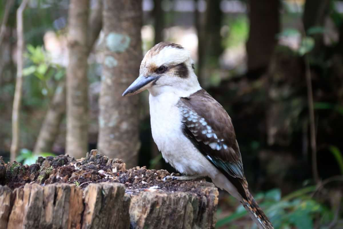 Croajingolong National Park - Wingan Inlet Kookaburra on log - Rainforest