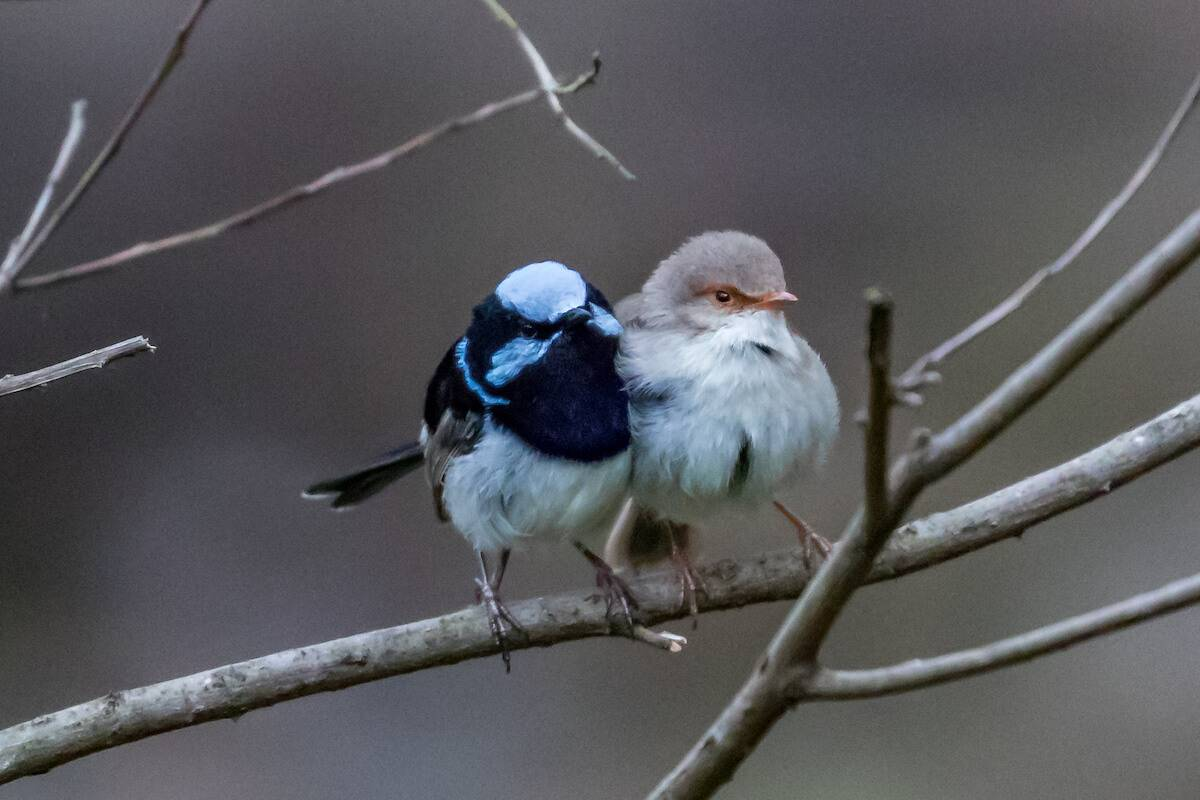 Gordon Country National park Finch bird