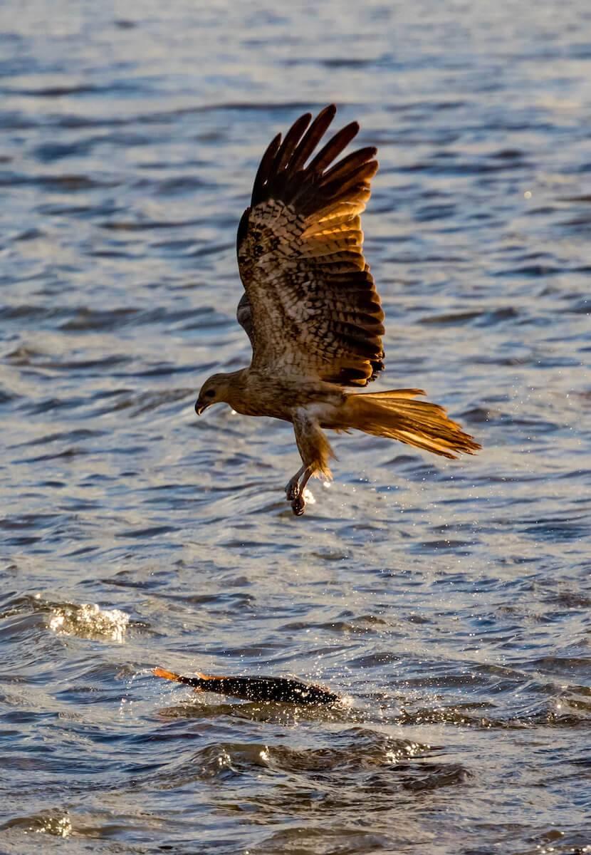 Cape Arnhem Eagle Swooping Fish